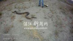 雷州村民挖出大蟒蛇 最后放生